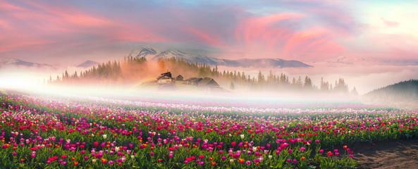 Tulips in the Carpathian region Fototapete