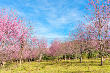 Blossom tree with sky blue background/ Spring flowers/Spring Bac