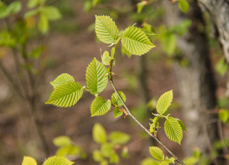 close photo of twigs of hazel with fresh green leaves and buds in spring