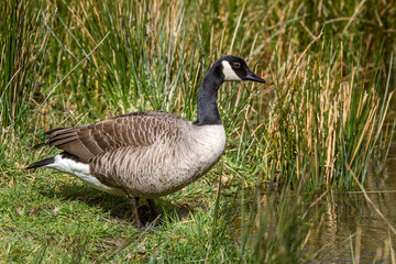 Canada Goose stood on grass bank at edge of river pond.