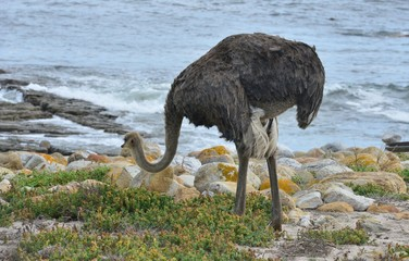 A Wild Ostrich at the Cape of Good Hope in South Africa