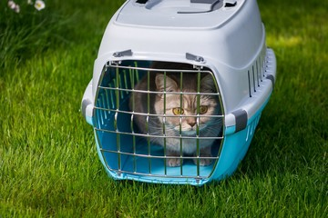 Lovely gray cat closed inside pet carrier on the grass in spring park sniffing fresh air