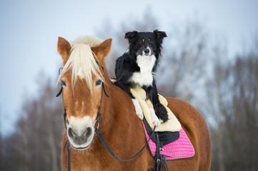 Poster Dogs Draft horse and black tricolor border collie dog