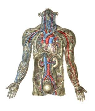 Circulatory system, artwork