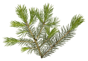Fir tree branch isolated