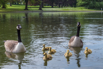 Geese and goslings floating on a lake in St Albans