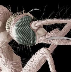 Mosquito head, SEM