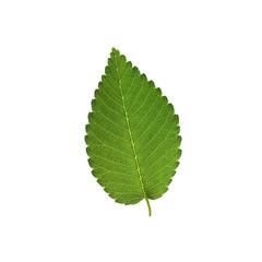 Elm tree leaf isolated on white background