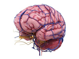 Arteries and veins passing through the brain against white background