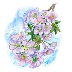 Watercolor apple blossom