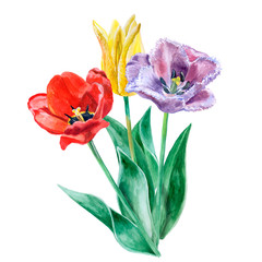 Watercolor sketch of purple, yellow and red tulips isolated