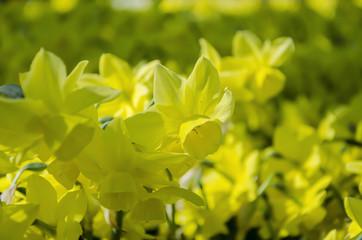 Tulips. Glade of  tulips in the park. Keukenhof.  Holland.