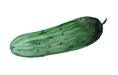 Watercolor painting of green cucumber