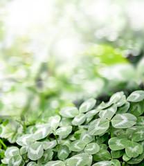 Green clover leaves on a background summer landscape. St.Patrick