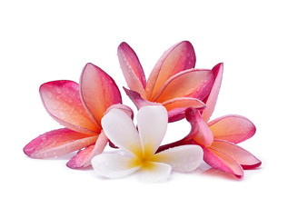 Frangipani flower with water droplets on white background