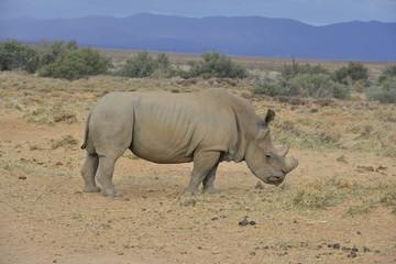 Foto auf Gartenposter Nashorn White Rhinoceros on the plain's of South Africa