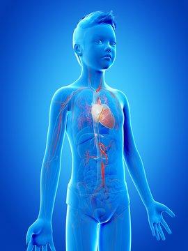 Vascular system of a boy, illustration