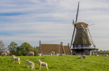 Windmill and sheep on a dike in Medemblik