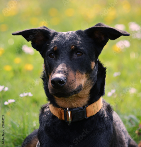 sch ferhund dobermann mischling im park stockfotos und lizenzfreie bilder auf. Black Bedroom Furniture Sets. Home Design Ideas