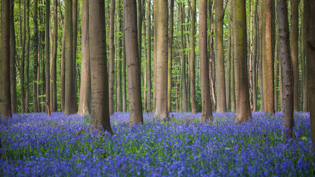 Bluebell wood of Hallerbos