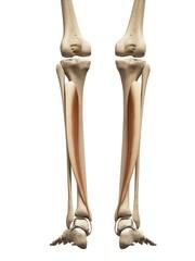 Lower leg muscles, illustration