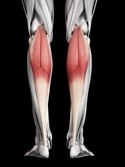Leg muscles, illustration