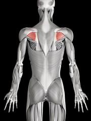 Human beck muscles, illustration