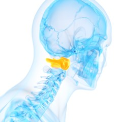 Human atlas vertebrae, illustration