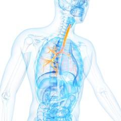 Human bronchi, illustration