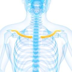 Human collar bone, illustration