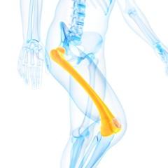 Human thigh bone, illustration