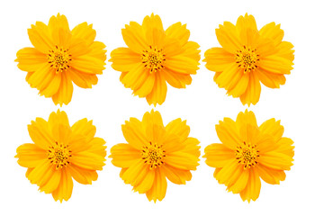 A background concept of Cosmos Yellow Flowers