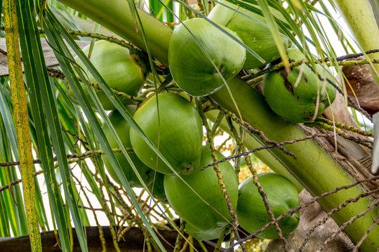Tropische Früchte in Cienaga de Zapata Kuba