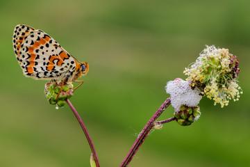 farfalla, Melitaea