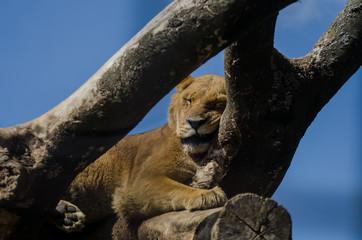 Foto op Aluminium Puma ライオン