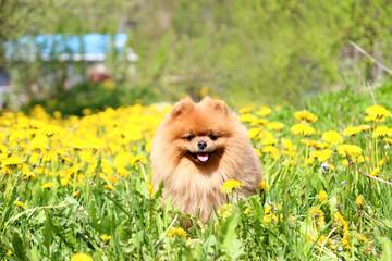 Pomeranian dog in dandelion blowing. Cute, beautiful dog