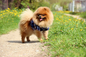 Pomeranian dog on countryside road. Beautiful dog