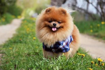 Pomeranian dog on countryside road. Beautiful dog