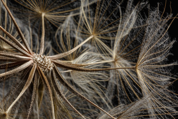 Extreme close up and abstraction with very shallow dept of field of dandelion seeds in black background,