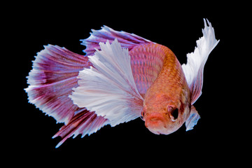 Betta fish, Capture the moving moment of siamese fighting fish