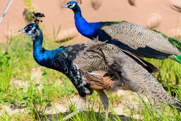 bird peacock male