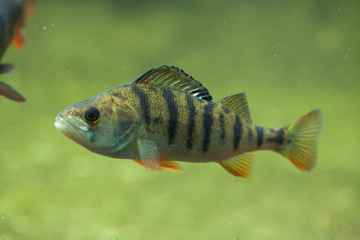 European perch (Perca fluviatilis).