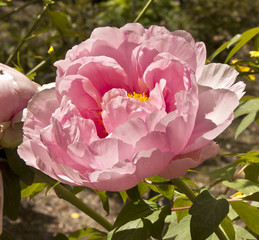 Macro photo of tender pink peony flower in botanical garden