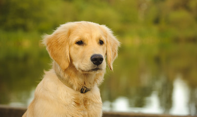 Portrait of Golden Retriever puppy in front of lake