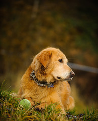 Golden Retriever dog lying in the grass with a tennis ball
