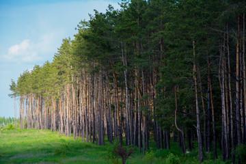 Еловый лес на закате