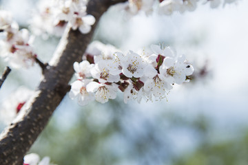 Spring apricot blossom in the garden