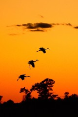 Silhouettes of Sandhill Cranes at Sunset