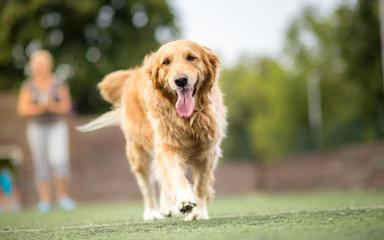 Golden retriever dog walking outdoor