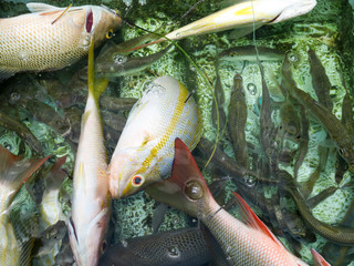Bait, Red and Yellow snapper in a live well of a fishing boat